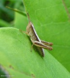 Stridulating Slant-faced Grasshopper   (Subfamily Gomphocerinae)