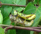 Two-striped grasshoppers  (Melanoplus bivittatus)