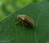 Skeletonizing Leaf Beetles (Family: Chrysomelidae, Subfamily:  Galerucinae)