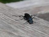 Thread-waisted wasps (Family: Sphecidae)