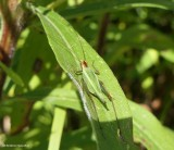 Grasshoppers, katydids, and crickets (Orthoptera) of the FWG