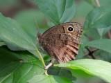 Brushfooted Butterflies:  Satyrinae