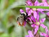 Bees and Wasps (Order Hymenoptera)