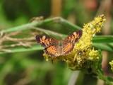 Brushfooted Butterflies:  Tribe Melitaeini