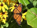 Brushfooted Butterflies: Genus Limenitis