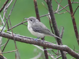 Vireos and Larks