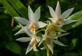 Dendrobium setupense