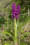 Orchis mascula, vertakt - double