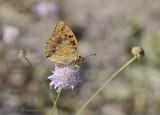Adippe vlinder