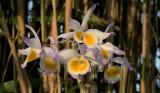 Dendrobium spec. waarschijnlijk een ondersoort van gratiotissimum uit  Laos