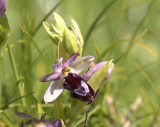 Ophrys catalaunica (O. bertolonii ssp. catalaunica)