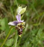 Ophrys pseudo scolopax