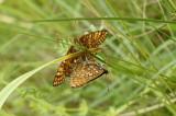 moerasparelmoervlinder paring