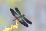 Malaengpo Thai - Some dragonflies from Thailand-Laos