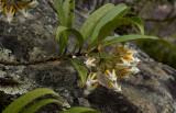 Thai wild flora