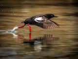 Avian_sprinter