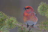Haakbek / Pine Grosbeak