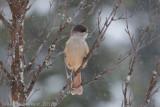 Taigagaai - Siberian Jay - Perisoreus infaustus