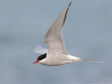 Noordse Stern / Artic Tern