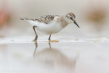 Kleine Strandloper / Little Stint