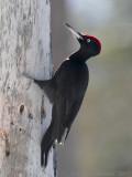 Zwarte Specht / Black Woodpecker