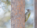 Grijskopspecht / Grey-headed Woodpecker