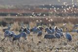 Kraanvogel / Common Crane