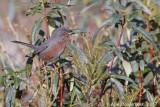 Provençaalse Grasmus / Datford Warbler