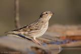 Rotsmus / Rock Sparrow