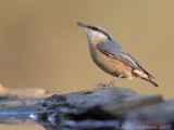 Boomklever / Wood Nuthatch
