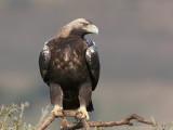 Spaanse Keizerarend - Spanish Imperial Eagle - Aquila adalberti