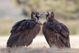 Monniksgier / Cinereous Vulture