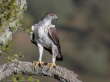 Havikarend / Bonelli's Eagle