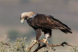 Spaanse Keizerarend / Spanish Imperial Eagle