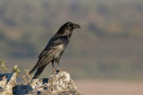 Raaf / Common Raven