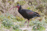Heremietibis / Northern Bald Ibis