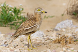 Griel / Eurasian Stone-curlew