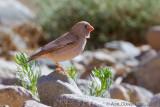 Woestijnvink / Trumpeter Finch