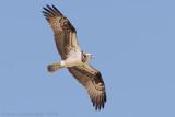 Visarend / Osprey
