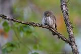 Dwerguil / Eurasian Pygmy-Owl