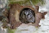 Ruigpootuil / Tengmalm's Owl