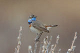 Blauwborst / Bluethroat