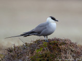 Database Birds: H - M