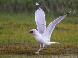 Zilvermeeuw - Herring Gull - Larus argentatus