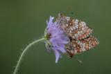 Bosparelmoervlinder - Heath Fritillary - Melitaea athalia