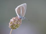 Witstreepblauwtje - Damon Blue - Polyommatus damon