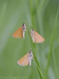Dwergdikkopje - Lulworth Skipper - Thymelicus acteon