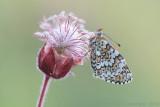 Veldparelmoervlinder - Glanville Fritillary - Melitaea cinxia