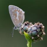 Zilverbruin Blauwtje - Silvery Argus - Aricia nicias