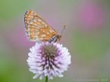 Moerasparelmoervlinder - Marsh Fritillary - Euphydryas aurinia